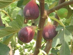 Brazilian-Figs